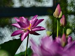 はす lotus flower