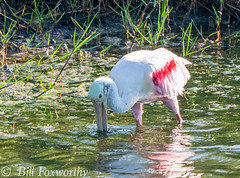 Sony A9,   Roseate Spoonbill ,   DSC01831,   May 15, 2020,  1-1600 sec at f - 9.0,   ISO 800         -