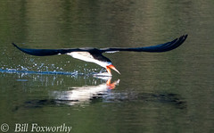 Sony A9,   Black Skimmer  ,   DSC01617,   May 13, 2020,  1-3200 sec at f - 8.0,   ISO 1250         -