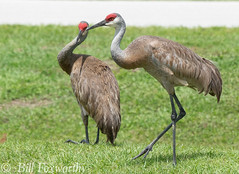 Sony A9,    Sandhill Cranes ,           DSC00848,   May 06, 2020,  1-1600 sec at f - 10,   ISO 1600         -