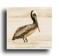 Pelican posing