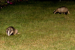 Badger -Meles meles  _A7A7767