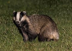 Badger -Meles meles  _A7A7753