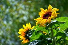 DSC08341 Sun Flower - Sonnenblume 2020