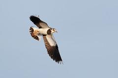 Northern Lapwing | tofsvipa | Vanellus vanellus