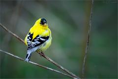 Goldfinch Glance