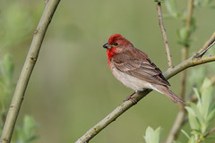 Common Rosefinch | rosenfink | Carpodacus erythrinus