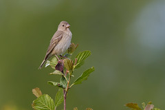 Common Rosefinch | rosenfink | Carpodacus erythrinus