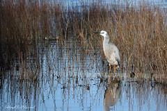 White faced Heron 66 s