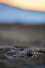 Eurasian Dotterel | fjällpipare | Charadrius morinellus