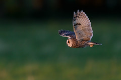 Long-eared Owl | hornuggla | Asio otus
