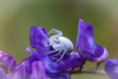 blomkrabbspindel