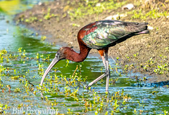 Sony A9,     Glossy Ibis,      ,DSC01769,   July 12, 2020,  1-1600 sec at f - 8.0,   ISO 1250      560 mm