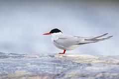 Sterna paradisaea | Arctic Tern | silvertärna