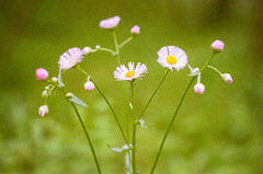 Pink and White Fleabane