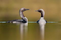 Gavia arctica | Black-throated Loon | storlom