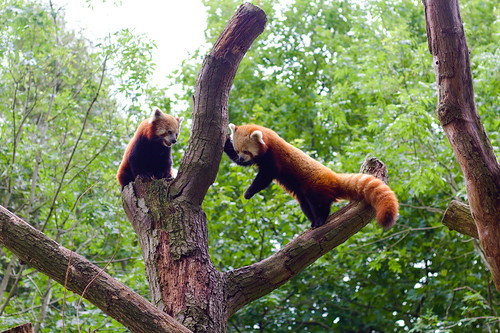 """Red Panda - Amsterdam, Netherlands • <a style=""""font-size:0.8em;"""" href=""""http://www.flickr.com/photos/104409572@N02/50208038012/"""" target=""""_blank"""">View on Flickr</a>"""