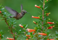 Juvenile Male Broadtailed Hummingbird.