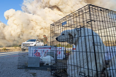 Some evacuated farm animals belonging to a local farmer are moved to safety from the raging wild fire in Pescadero, California, United States on August 19, 2020. (Photo by Yichuan Cao/Sipa USA)