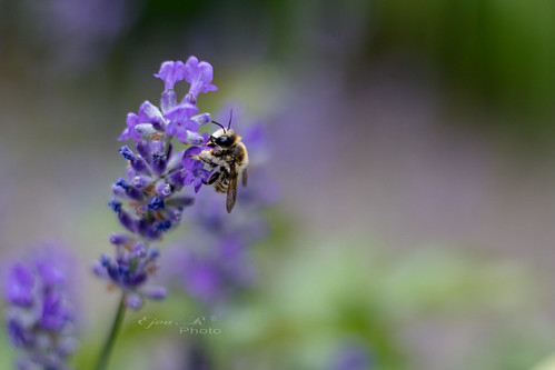 levendula méh rovar lavender bee insect
