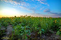 Sunflowers D800  (1)