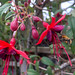 A bee in the fuchsia