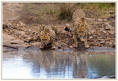 Guépards au Masaï Mara