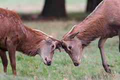 Deer rut - Bushy Park