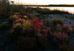 Virginia Glasswort (Salicornia depressa)
