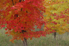"""Fall Colours 2020 • <a style=""""font-size:0.8em;"""" href=""""http://www.flickr.com/photos/50569852@N05/50484696882/"""" target=""""_blank"""">View on Flickr</a>"""