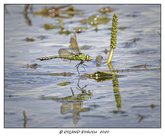 Female Emperor in flight -