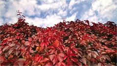 19.10.2020 - Parthenocissus quinquefolia -