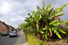 Ananas / Kerkstraat / Nunhem