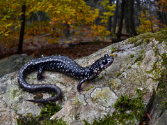 Northern Slimy Salamander (Plethodon glutinosus)