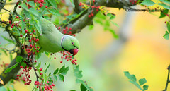 ♂ Rose-ringed parakeet  / ♂ Perruche à collier
