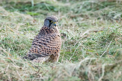Kestrel on the ground