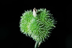 Canna flaccida seed capsule 黃花美人蕉-蒴果
