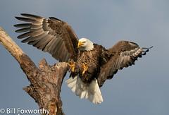 Bald Eagle ,    ,,   ,   ,  October 24, 2020-16
