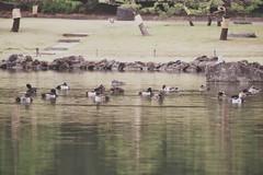 カモが浮かぶ A duck floats in a pond