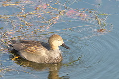 Falcated duck ♂