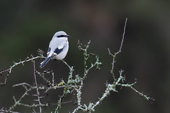 Lanius excubitor | Great Grey Shrike | varfågel