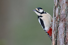 Dendrocopos major | Great Spotted Woodpecker | större hackspett
