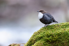 Cinclus cinclus | White-throated Dipper | strömstare