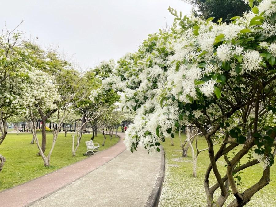 [桃園旅遊]玉山公園染成一片白雪|運動.野餐.落羽松~免費景點賞花去 @VIVIYU小世界