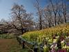 Photo:桜と花壇 By