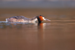 Podiceps cristatus | Great Crested Grebe | skäggdopping