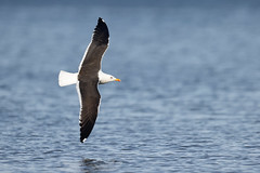 Larus fuscus | Lesser Black-backed Gull | silltrut