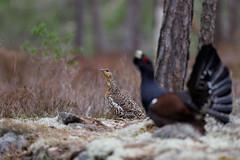 Tetrao urogallus | Western Capercaillie | tjäder