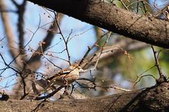 近くの枝に来てこっちをジッと見つめている。