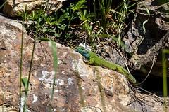 Ještěrka zelená (Lacerta viridis )